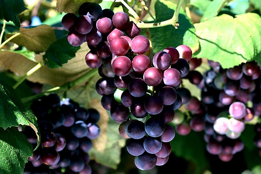 winogron (Vitis vinifera)